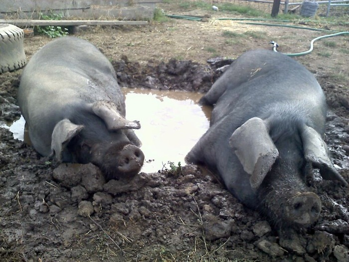 large black hogs in mud hole